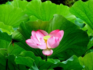 I think lotuses are gorgeous