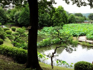 Overlooking the lotus pond