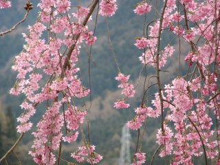 Sakura in Yudanaka