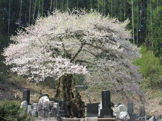Sakura in Nagano