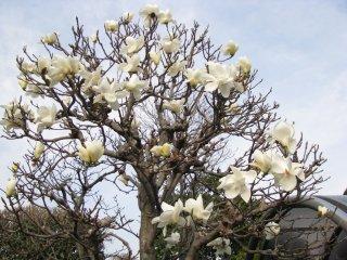 Magnolia in Tokyo
