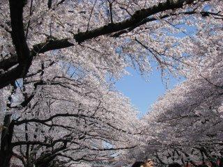 Sakura in Ueno, Tokyo