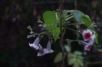 ดอก Little Reds
