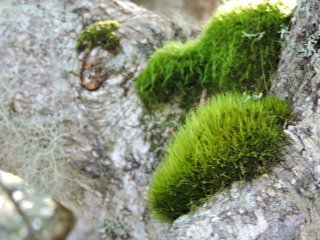 Thick cushions of moss on a tree