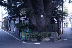 This is a 90-year old Himalayan Cedar. It serves as the guardian to Mikado Bread Shop – probably the oldest bread store in Tokyo