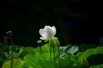 鶴岡八幡宮の蓮の花