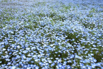 Hitachi Seaside Park from Mito Town
