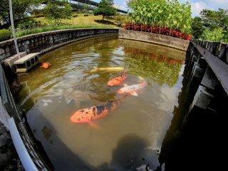 Ada juga kolam ikan koi dengan bunga matahari di atasnya