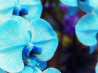 Variasi warna biru langka
