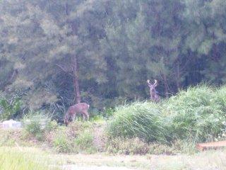 Kerama deer