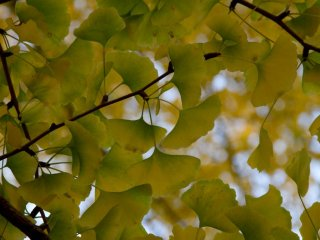 Gingko leaves—I just love their shape