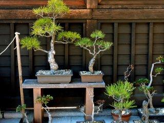 Bonsai pines on display