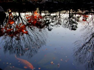 An orange koi fish leisurely floats in the reflection of the Japanese maple leaves