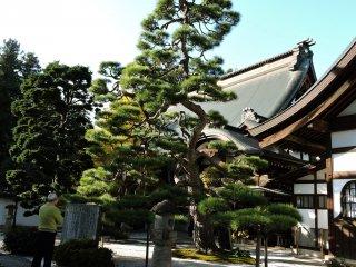 Erinji has some beautiful pine trees