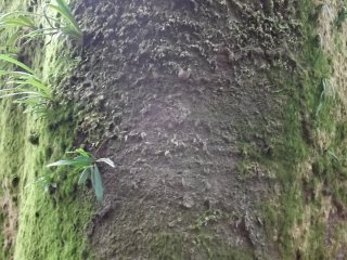 A tree grown thick with moss