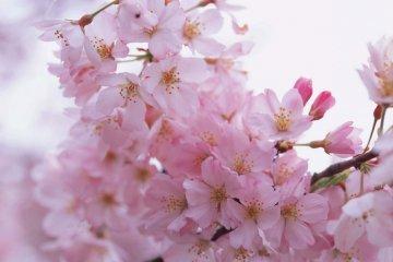 Ota Cherry Blossom Itinerary