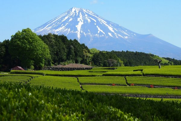 A captivating view of Mount Fuji behind lush, green tea fields