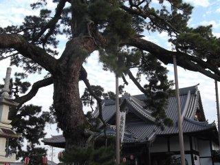 ต้นสน Kuon-no-matsu ยืนเด่นอยู่กลางพื้นที่ในบริเวณวัด