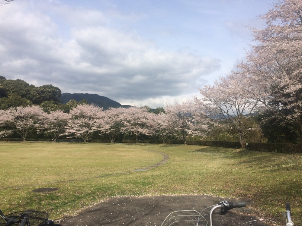 Fully bloomed cherry blossoms framing the spacious lawn
