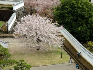 Looking down on cherry trees