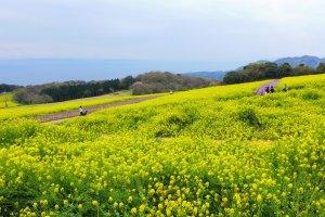 Fields of golden mustard seed flowers