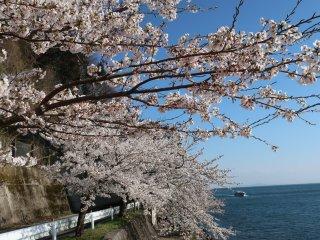 호수에 흘러내리는 벚꽃