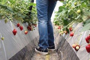 Ripe strawberries for picking