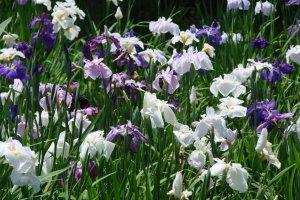 Irises in bloom in Itako