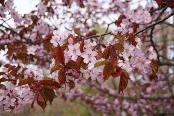 Sakura in Kushiro