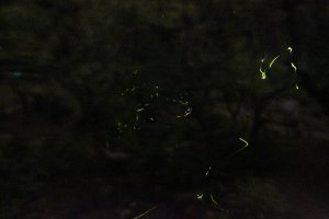 It was so dark it was hard to see where I stepped. But only in this darkness do the fireflies shine the brightest. In that very moment when you see the fireflies glow together at the same time, it is truly magical and surreal.