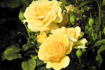 新宿御苑の花々
