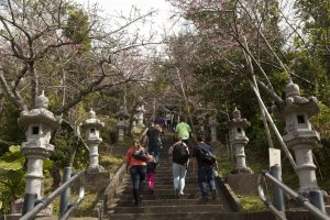 Nago Cherry Blossom Festival