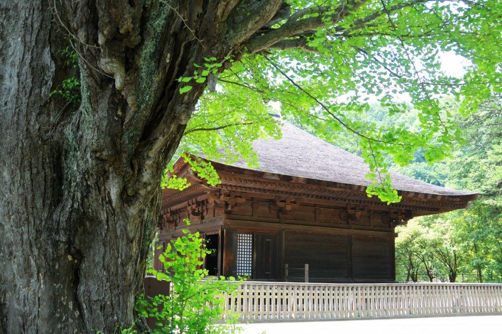 An ancient tree and Shiramizu Amida-do