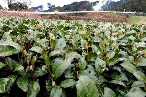 Green tea plants up close