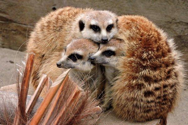 A huddle of meerkats