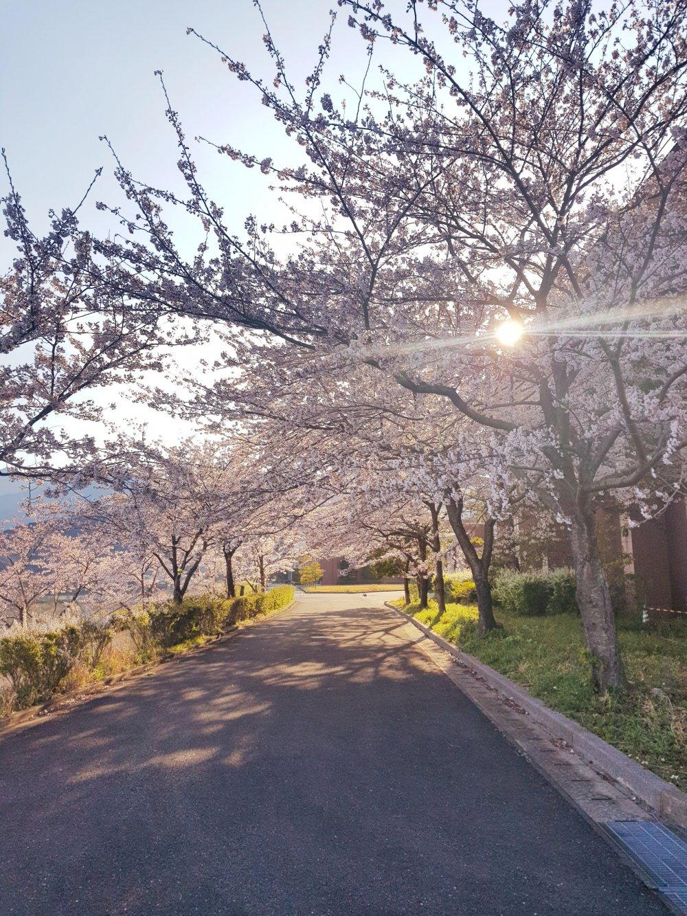 Beautiful springtime cherry blossom trees.