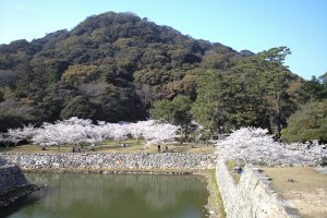 Hagi castle town with cherry blossoms