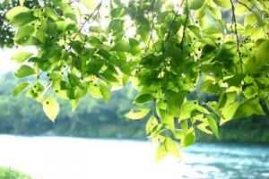 Shimanto River: green & blue