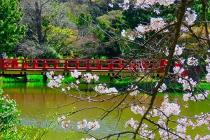 Flat Bridge during cherry blossom season