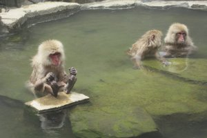 Monkeys enjoy onsen in the same way as people!