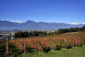Vineyards in Ikeda