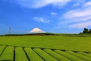 Tea plantation, Shizuoka