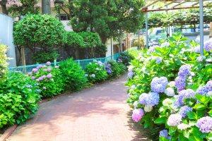Takinogawa Hydrangea Road halfway