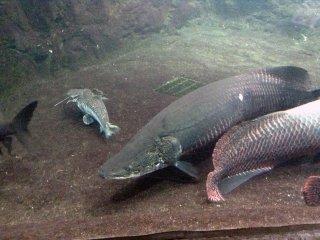 Peixes enormes enchem os tanques das criaturas da região amazónica