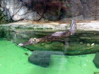 Os crocodilos foram uns dos preferidos de muitas crianças japonesas