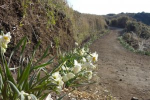 When you visit Joga-shima in January to February, white daffodil along the trail will give off a faint sweet fragrance.