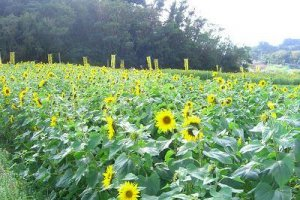 sunflowers welcome the visitors