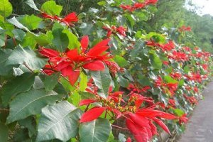 poinsettia making the contrast
