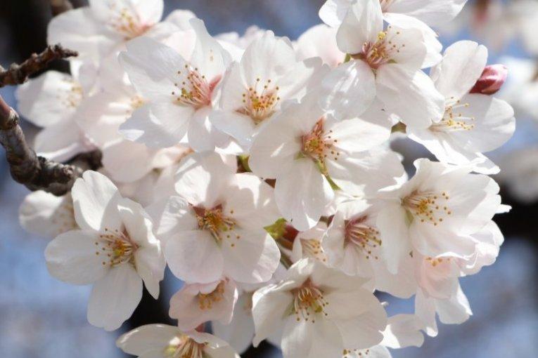Japan Cherry Blossom Tour
