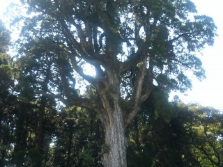 Sacred cedar tree is 37m tall!